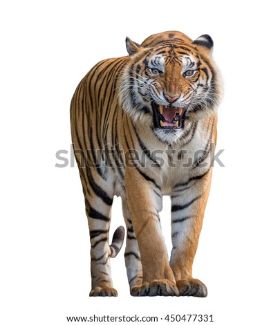 Tiger Roaring isolated on white background. Royalty-Free Stock Photo #450477331