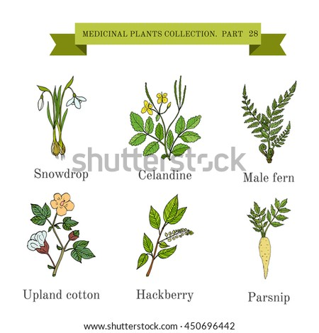 Vintage collection of hand drawn medical herbs and plants, snowdrop, celandine, male fern, cotton, hackberry, parsnip. Botanical vector illustration #450696442