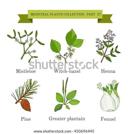 Vintage collection of hand drawn medical herbs and plants, mistletoe, witch-hazel, henna, pine, greater plantain, fennel. Botanical vector illustration #450696445