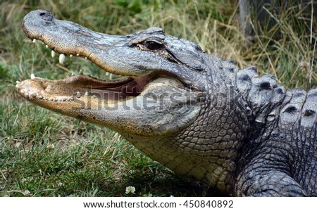 An alligator is a crocodilian in the genus Alligator of the family Alligatoridae. The two living species are the American alligator and the Chinese alligator.