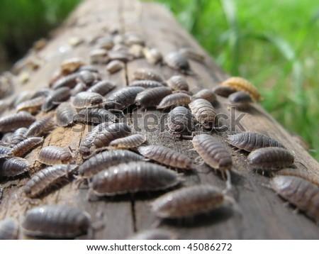 Common Rough Woodlouses (Porcellio scaber) #45086272