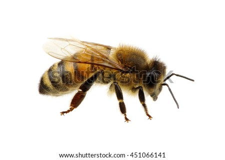 Bee isolated on the white #451066141
