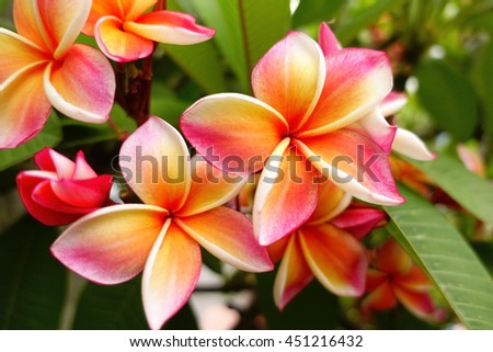 Pink plumeria on the plumeria tree, frangipani tropical flowers with blurry background:select focus with shallow depth of field:ideal use for background. #451216432