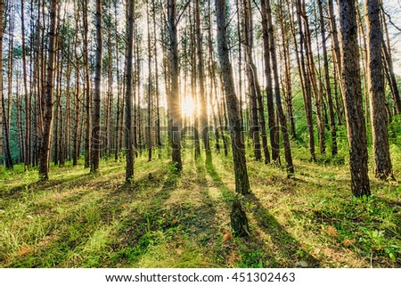 scene of beautiful sunset at summer pine forest with trees and grass, landscape #451302463