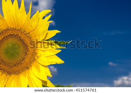 sunflower with blue sky #451574761