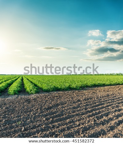 view to agricultural fields with tomatoes in sunset time #451582372