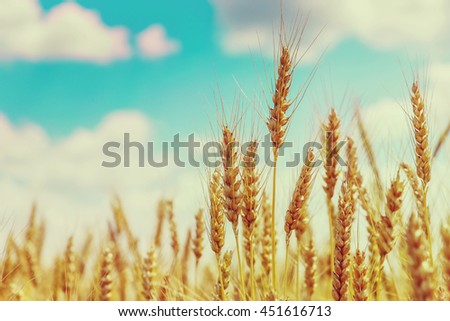 Wheat field. full of ripe grains, golden ears of wheat or rye close up on a blue sky background. small depth of field. Rich harvest Concept. majestic rural landscape. creative picture of nature.