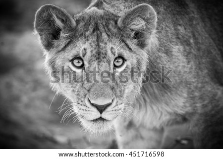 Portrait of a young lion with intelligent eyes, black and white photo #451716598