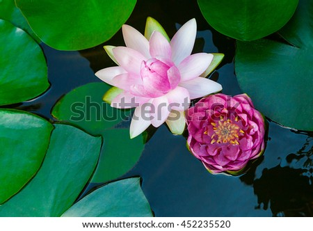 Water lily lotus flower and leaves in pond #452235520