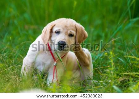 Puppy Retriever Scratching fleas in the park