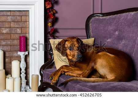 Rhodesian Ridgeback dog on a sofa in front of fireplace #452626705