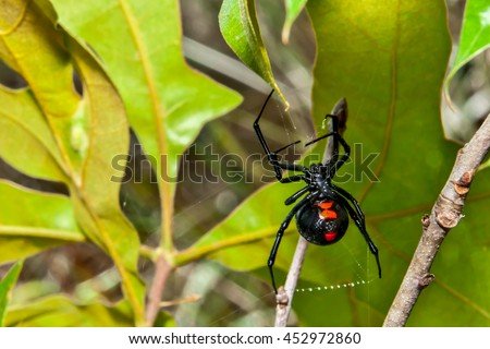 Black Widow Spider #452972860