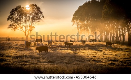 a herd of cattle in pasture, standing in early morning fog Royalty-Free Stock Photo #453004546
