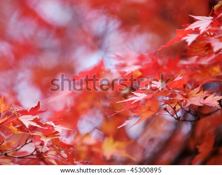 japanese maple autumn leafs background with shallow focus #45300895