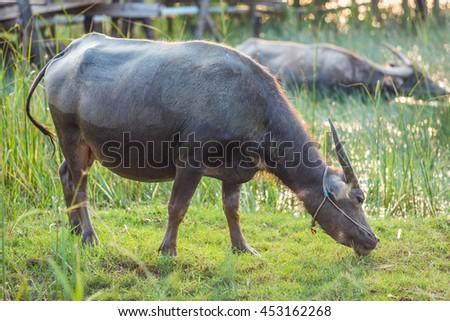 Buffalo in thailand #453162268