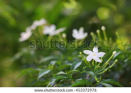 Gardenia  jasmines #453372976