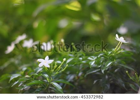 Gardenia  jasmines #453372982
