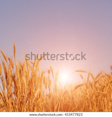 Wheat field. green ears of wheat or rye on fantastic sky background. Rich harvest Concept. majestic fantastic rural landscape. Copy space installation of sunlight on the horizon. #453477823