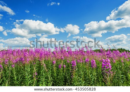 blooming fireweed on blue sky background with clouds #453505828