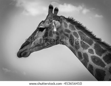 Giraffe in Etosha National Park, Namibia #453656410
