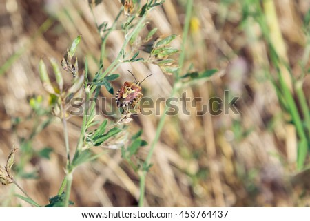 Brown shield bug with a picture of a skull on the back at plants background