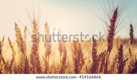 backdrop of ripening ears of golden wheat field on the sunset.  sun rays on horizon.  landscape of sunrise in rural. Close up. rich harvest. retro style. vintage creative effect #454166866