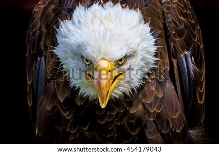 An angry north american bald eagle on black background.