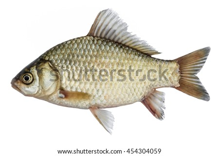Isolated crucian carp, a kind of fish from the side. Live fish with flowing fins. River fish Royalty-Free Stock Photo #454304059