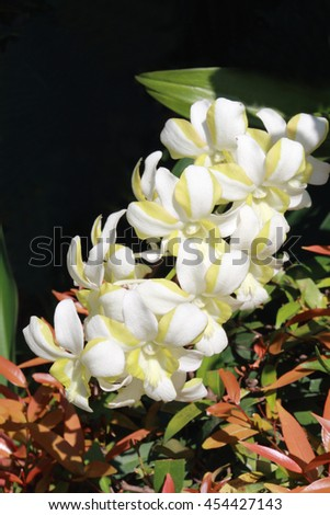 The orchid which have white and yellow in petal. #454427143