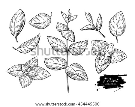 Mint vector drawing set. Isolated mint plant and leaves. Herbal engraved style illustration. Detailed organic product sketch. Cooking spicy ingredient Royalty-Free Stock Photo #454445500