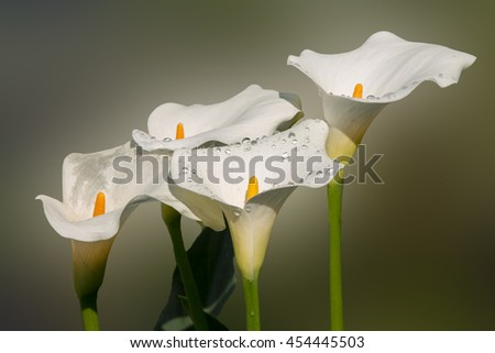 beautiful calla flower on soft background #454445503
