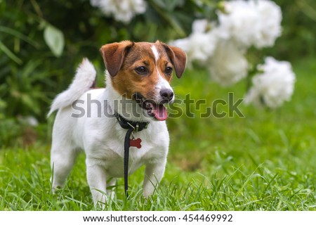 Cheerful puppy Jack Russell terrier standing on green grass in front of a bush of white peonies in the garden on a sunny summer day #454469992