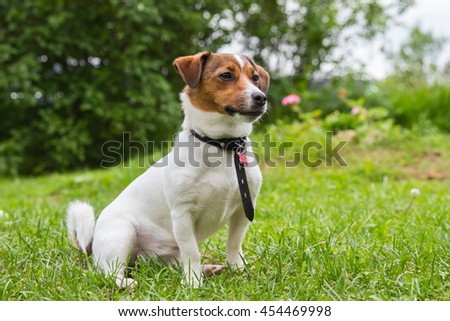 Cute puppy Jack Russell Terrier sitting on  green lawn in  garden on a sunny summer day #454469998