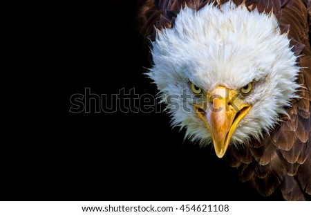 Angry north american bald eagle on black background.