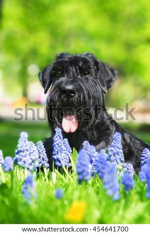 Giant schnauzer dog lying in blue flowers #454641700