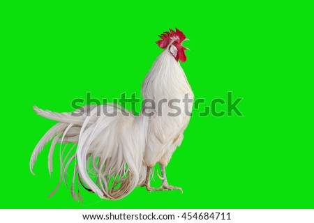 2017 new year concept,White cockcrow on Green Screen for footage and clipping path