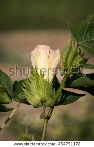 Typical creamy pink-yellow blossom of cotton in a cotton field, Kibbutz-Shomrat at sunset light #454751176