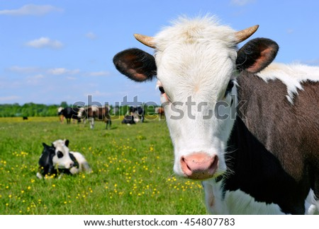 Head of the calf against a pasture.  #454807783