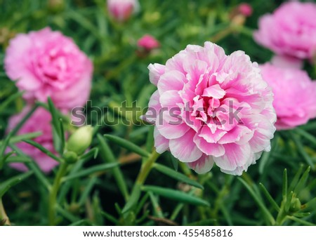 Pink portulaca grandiflora flower, Selective focus and close up with place your text #455485816