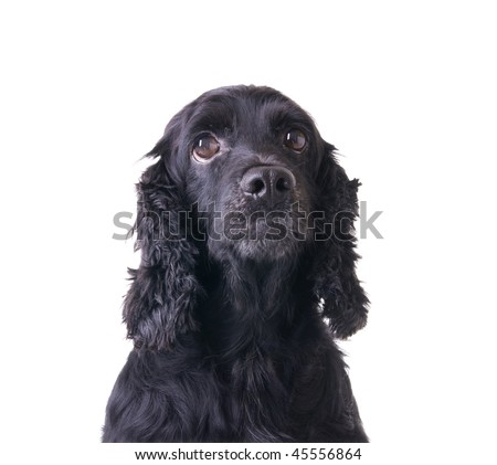cocker spaneil isolated in white #45556864