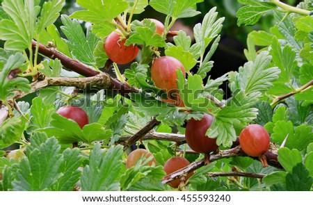 Ripe red gooseberries,  Ribes uva-crispa, Western Norway #455593240