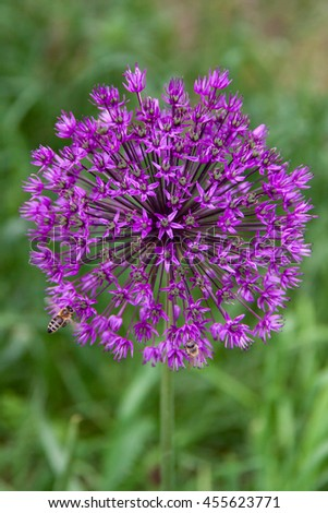 Bee on Allium Flower (Allium christophii), Germany #455623771