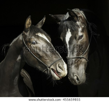 two black horses with a white blaze on the head with halter are standing next to each other on a black background #455659855