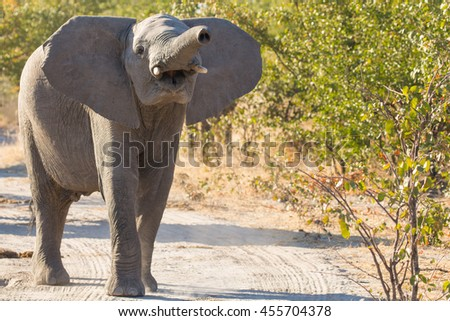 Young Elephant Trumpeting