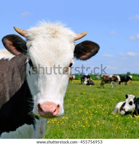 Head of the calf against a pasture #455756953