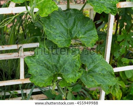Pumpkin leaf #455949988