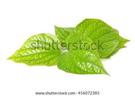 Wild betel, Piper sarmentosum, Family Piperaceae, Central of Thailand #456072385