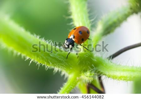 Ladybug sitting on a flower leaf warm spring day on a leaf insect beetle #456144082