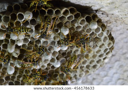 Wasps polist. The nest of a family of wasps which is taken a close-up. #456178633