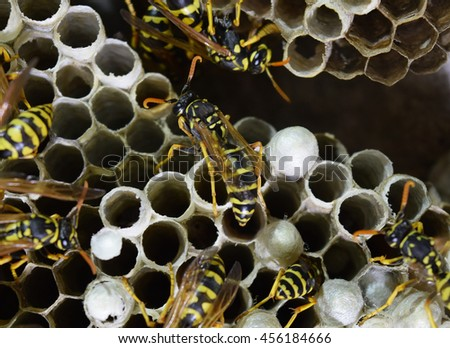 Wasps polist. The nest of a family of wasps which is taken a close-up. #456184666
